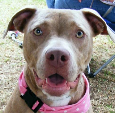 Weimaraner/American Pit Bull Terrier (American Weimaraner Terrier)